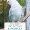 are indian ringnecks dusty?