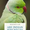 Are indian ringnecks loud?