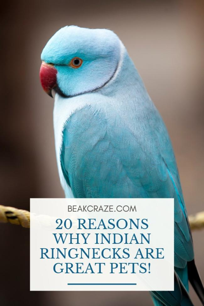 Are indian ringnecks good pets?