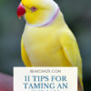 how to tame indian ringneck parrots?