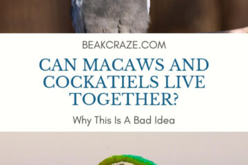 Can macaws and cockatiels live together?