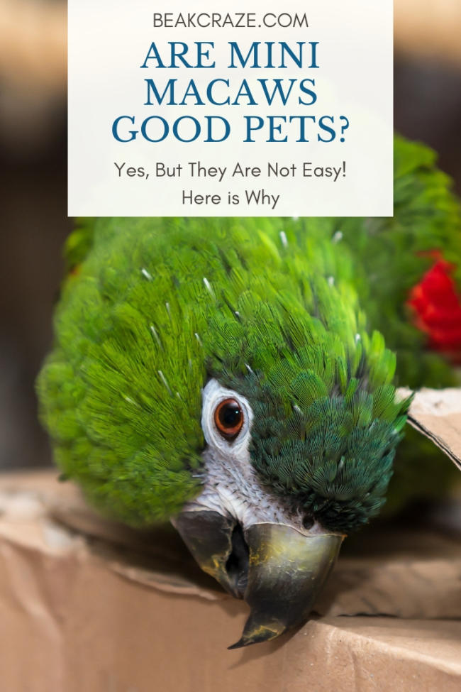 Are Mini Macaws Good Pets Yes But They Are Not Easy Beak Craze,Beige Color Palette