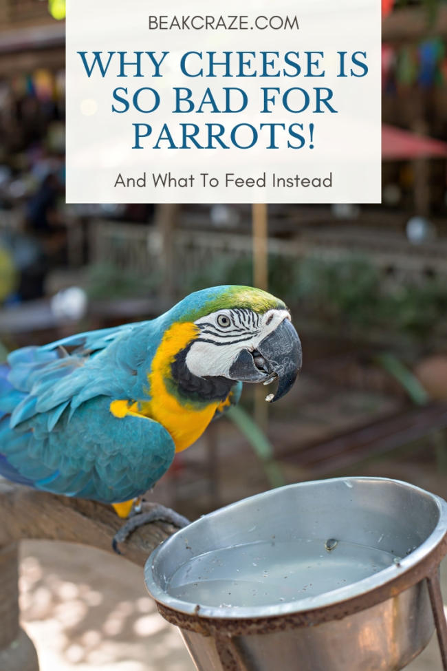 Can parrots eat cheese?