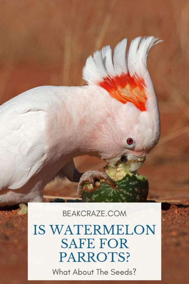 can parrots eat watermelon?