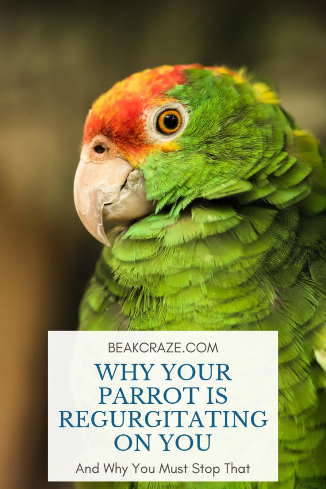 why is my parrot regurgitating on me?