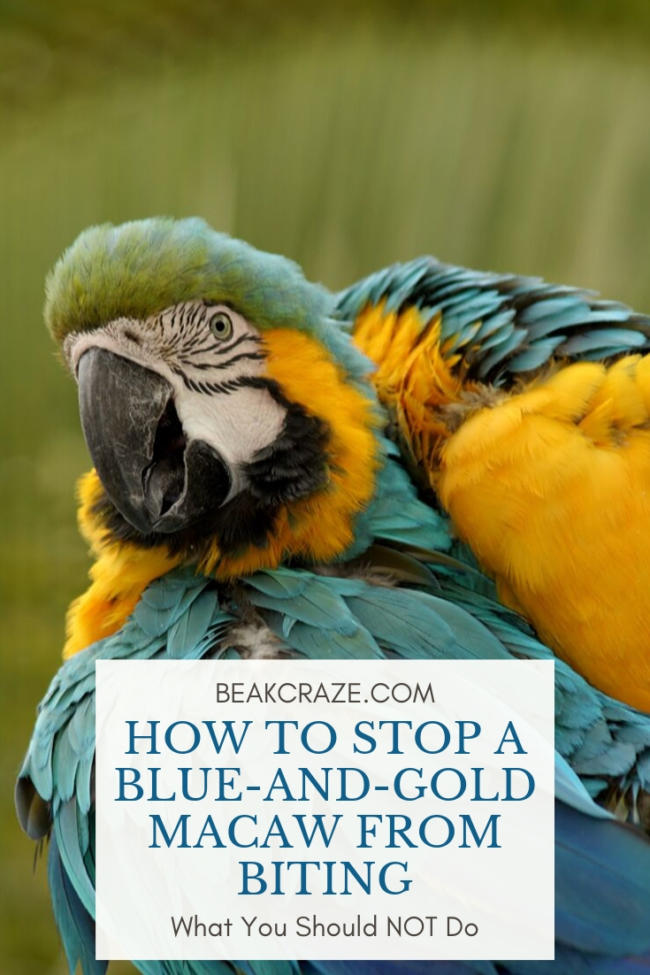 how to stop a blue and gold macaw from biting
