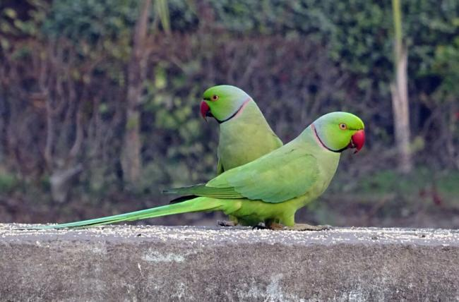 are indian ringnecks easy to care for?