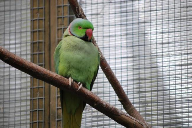 Indian ringneck dust problems