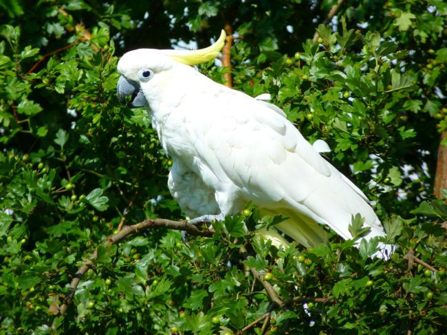 how strong is a cockatoo bite