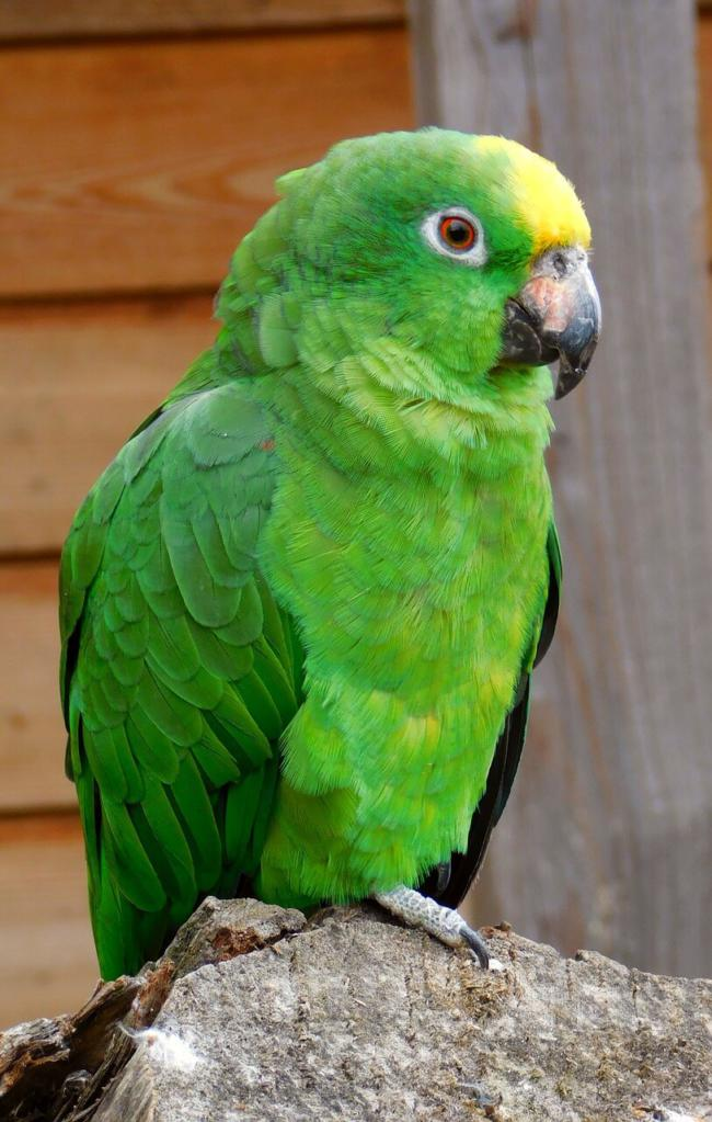 is watermelon safe for parrots?