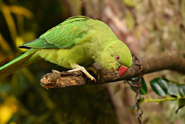 Do indian Ringnecks produce a lot of dust?